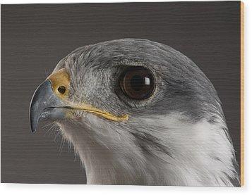 An Auger Buzzard Buteo Auger At Denver Wood Print by Joel Sartore