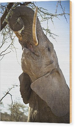An Elephant Eats The Leaves High Up In Wood Print by David DuChemin