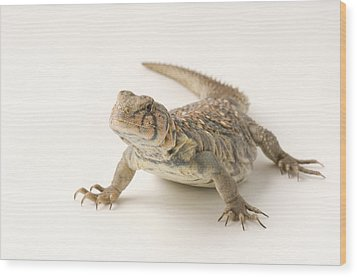 An Ocellated Uromastyx Lizard Uromastyx Wood Print by Joel Sartore
