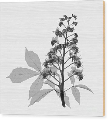 An X-ray Of A Chestnut Tree Flower Wood Print by Ted Kinsman