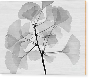 An X-ray Of Ginko Leaves Wood Print by Ted Kinsman