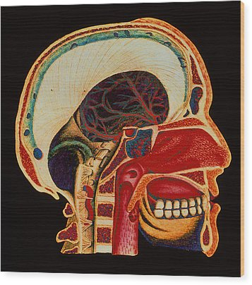 Anatomy Of Head Wood Print by Mehau Kulyk