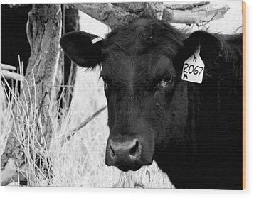 Angus Cow In Black And White Wood Print by Tam Graff