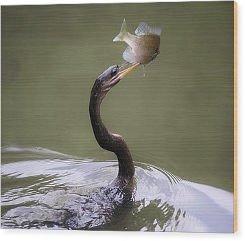 Anhinga With The Catch Of The Day Wood Print by Paulette Thomas