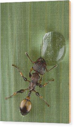 Ant Drinking From Water Droplet Papua Wood Print by Piotr Naskrecki