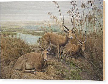 Antelope In The Grass Near The River Wood Print by Laura Ciapponi