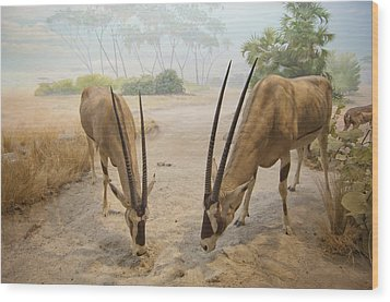 Antelope In The Sand With Their Heads Wood Print by Laura Ciapponi