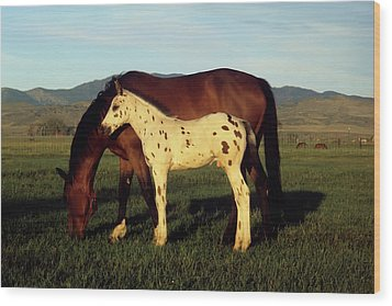 Appalossa Colt With Mother Wood Print