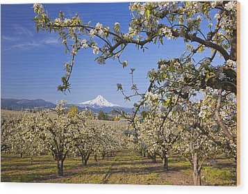 Apple Blossom Trees In Hood River Wood Print by Craig Tuttle