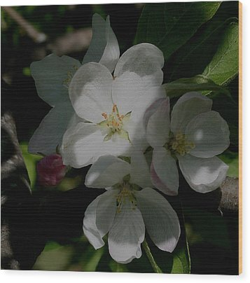 Apple Blossoms Wood Print by Karen Harrison