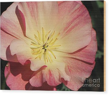 Wood Print featuring the photograph Appleblossom California Poppy by Michele Penner