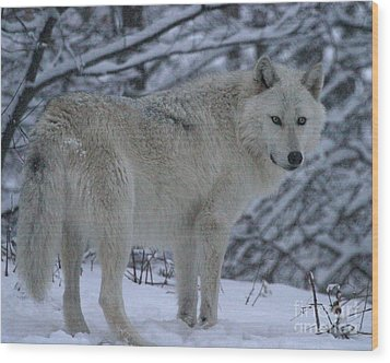 Arctic Wolf In Snowstorm Wood Print
