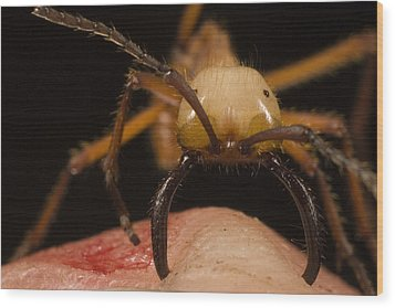 Army Ant Eciton Biting Finger Wood Print by Mark Moffett