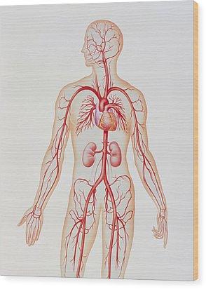 Artwork Of Human Arterial System Wood Print by John Bavosi
