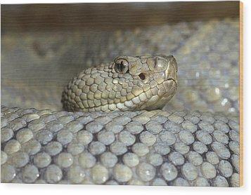 Aruba Rattlesnake Crotalus Unicolor Wood Print by Gerry Ellis