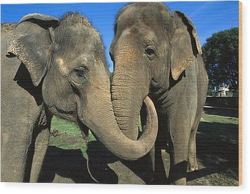 Asian Elephant Elephas Maximus Pair Wood Print by Zssd