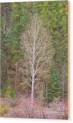 Aspen Tree Forest Road 249 Wood Print by Donna Greene