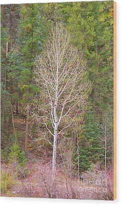 Aspen Tree Forest Road 249 Wood Print