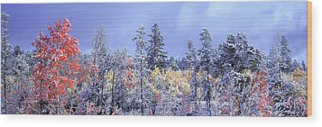 Aspens In Fall With Snow, Near 100 Mile Wood Print by David Nunuk