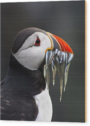 Atlantic Puffin Fratercula Arctica Wood Print by Wim Klomp
