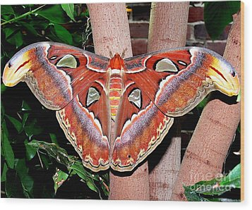 Atlas Moth Wood Print by Kevin Fortier