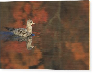 Autumn Gull Wood Print by Karol Livote