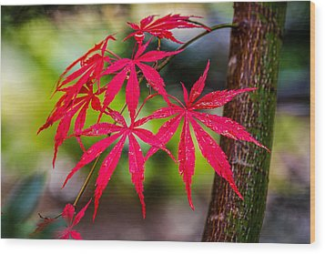 Wood Print featuring the photograph Autumn Japanese Maple by Ken Stanback