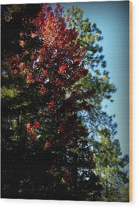 Autumn Maple And Ponderosa Pines Wood Print by Aaron Burrows