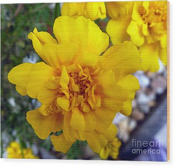 Autumn Marigold 1 Wood Print by Alys Caviness-Gober