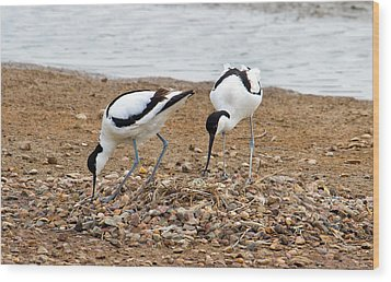Avocets At Nest Wood Print