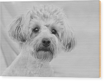 Awesome Abby The Yorkie-poo Wood Print by Kathy Clark