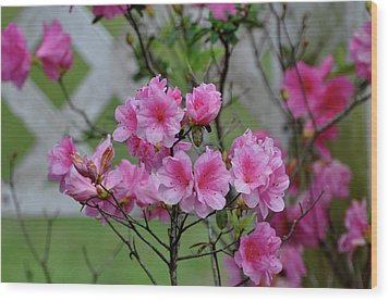 Wood Print featuring the photograph Azaleas by Helen Haw