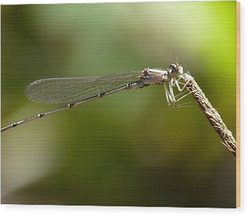 Baby Dragonfly Wood Print by Terry Eve Tanner