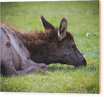 Wood Print featuring the photograph Baby Elk by Steve McKinzie