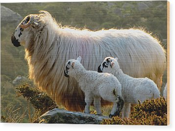 Wood Print featuring the photograph Baby-lambs by Barbara Walsh