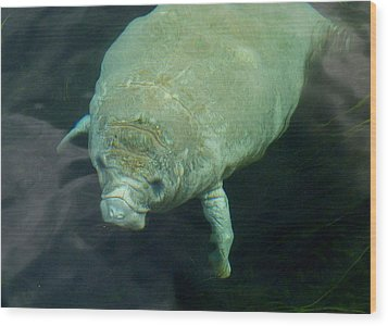Baby Manatee Wood Print by Carla Parris