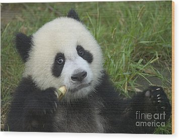 Wood Print featuring the photograph Baby Panda by Craig Lovell