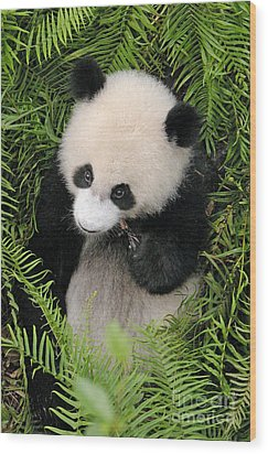 Wood Print featuring the photograph Baby Panda In Ferns by Craig Lovell