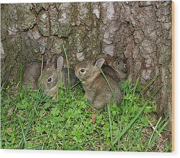 Baby Rabbits Wood Print