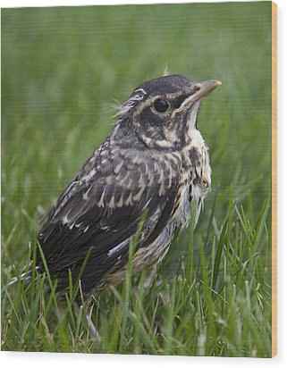 Wood Print featuring the photograph Baby Robin by John Crothers
