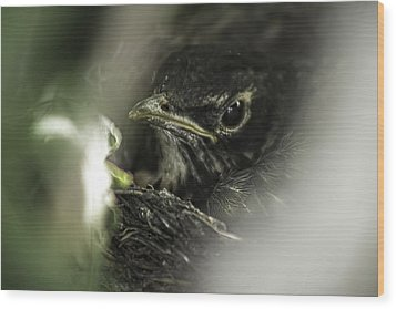 Wood Print featuring the photograph Baby Robin by Tom Gort