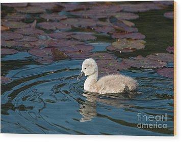 Baby Swan Wood Print by Andrew  Michael