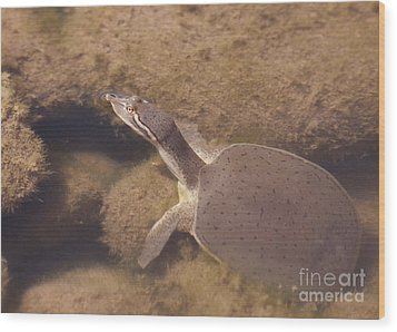 Baby Turtle Wood Print
