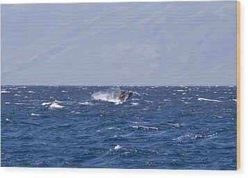 Baby Whale Breach Wood Print by Chris Ann Wiggins