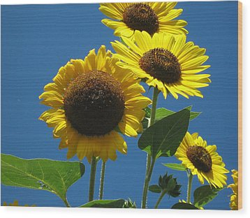 Back Bay Sunflowers Wood Print by Bruce Carpenter