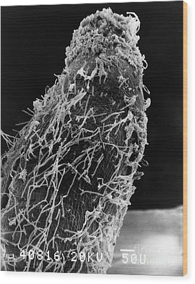 Bacteria On Sorghum Root Tip Wood Print by Science Source