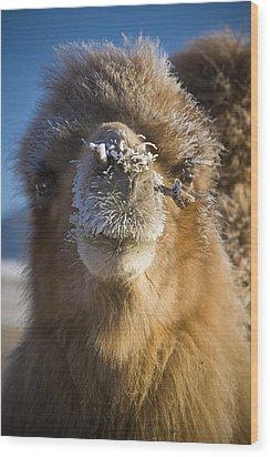 Bactrian Camel Camelus Bactrianus Wood Print by David DuChemin