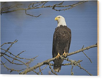 Bald Eagle Wood Print by Bruce McCammon