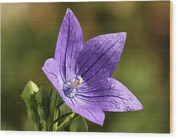 Balloon Flower Wood Print by Lori Peters
