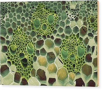 Bamboo Stem, Sem Wood Print by Steve Gschmeissner